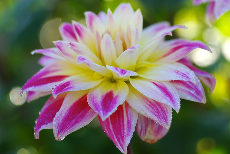 IMGP3862-weiss-rosa-gelbe-von-Trubschachen
