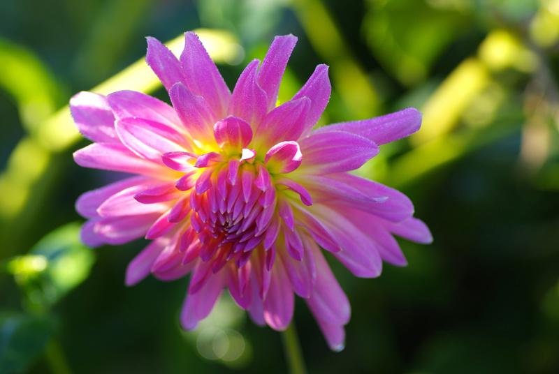 IMGP3876-rosa-kaktus-von-albeuve