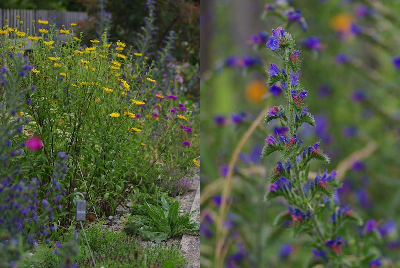 Wildstauden-Buphtalmum-salicifolium