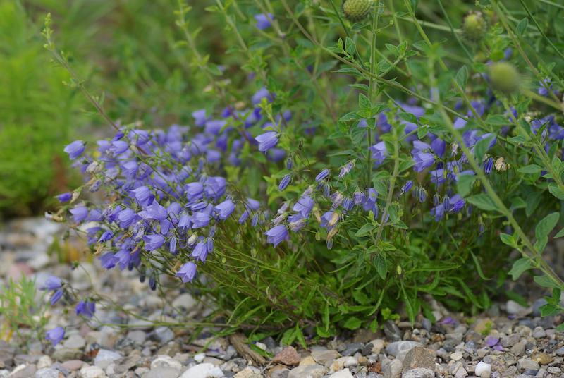 Wildstauden-Campanula-cochlearifolia-IMGP9443-web