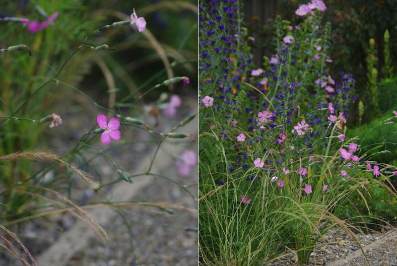 Wildstauden-Dianthus-sylvestris