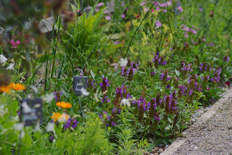 Wildstauden-Prunella-grandiflora-IMGP9446-web